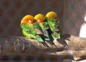 鹦鹉的普遍睡姿