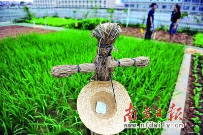 四楼种植的水稻,种子来自袁隆平种子公司。