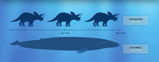 蓝鲸体型示意图