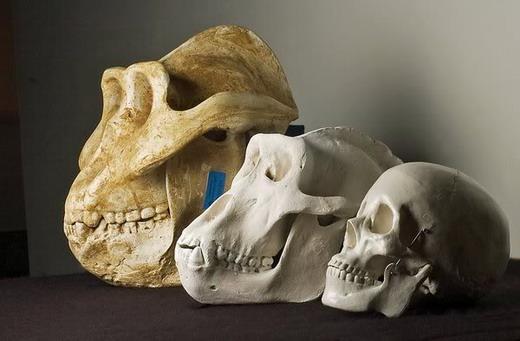 复原后的步氏巨猿头骨模型(最左)与大猩猩、现代人的头骨模型大小对比。