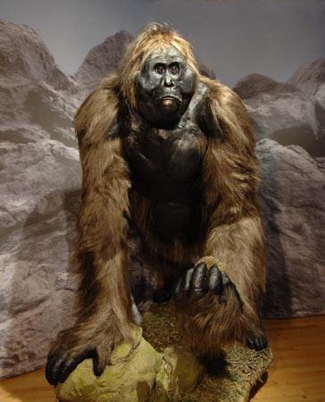 这副样子可能更接近巨猿的尊容:体型和习性让它们长了一个类似大猩猩的身躯,而脸部则类似其近亲——亚洲红毛猩猩。