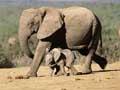 动物智者:大象