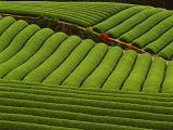 中国的茶都有哪几种类型和品种