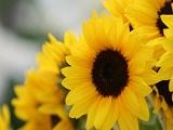 简单鲜花剪纸教程:向日葵