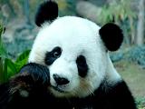 简单动物剪纸教程:熊猫和小狗