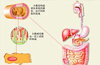 第三集 食物的消化、吸收、转运与代谢