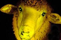 乌拉圭科学家利用发光水母基因培育出夜光绵羊