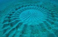 """日海底""""麦田怪圈""""之谜揭开 竟是河豚求偶之作"""