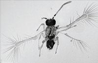 科学家发现一种昆虫新物种 体长仅0.13毫米