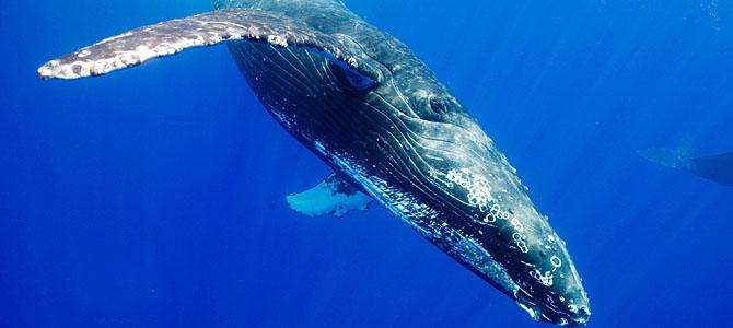目前,科学家最新研究发现座头鲸能够像人类一样彼此间学习交流捕猎经验。 当座头鲸遭受食物危机之后,一种最新捕猎技巧快速传播至英国和美国海域40%的座头鲸群体。上世纪80年代初,当座头鲸最喜爱的食物青鱼大量减少时,它们不得不寻求新的猎物。