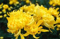 重阳节赏菊习俗